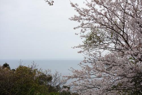 樺島灯台公園の桜