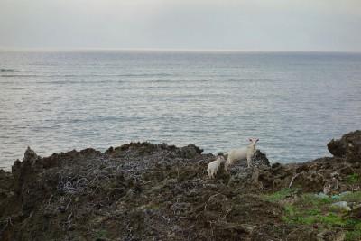 山羊の親子