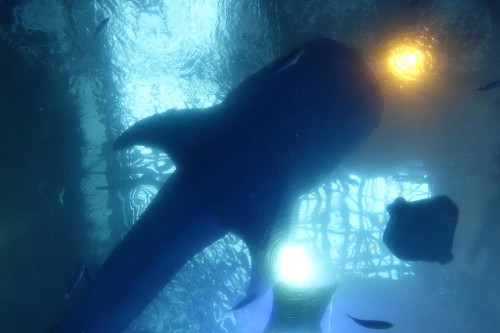ジンベイザメを下から