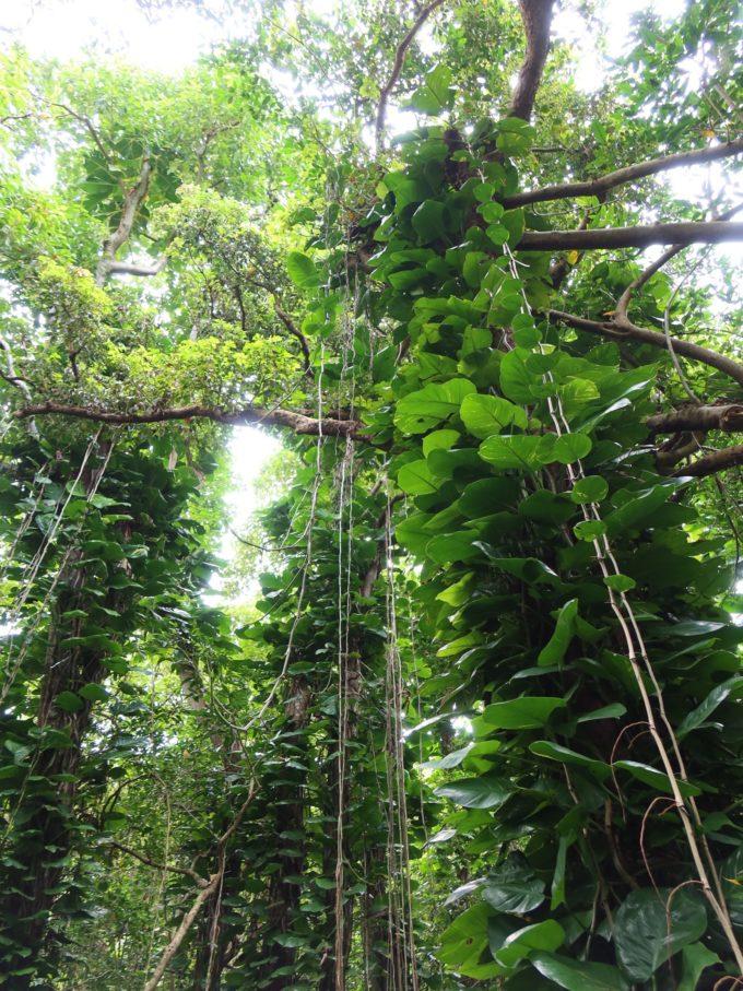 高い木と長いツタ