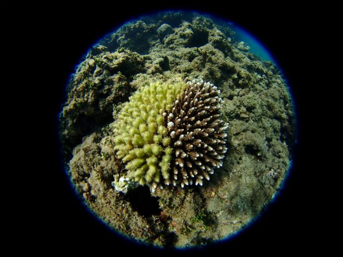 珊瑚その4