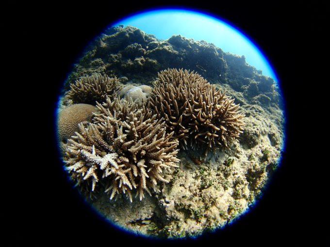 珊瑚その6