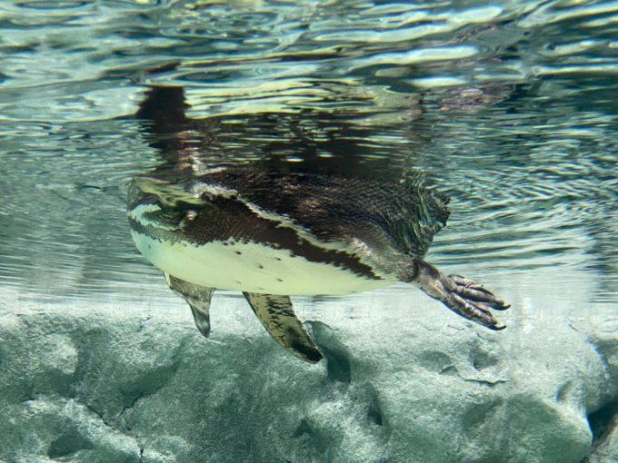 ペンギンを下から